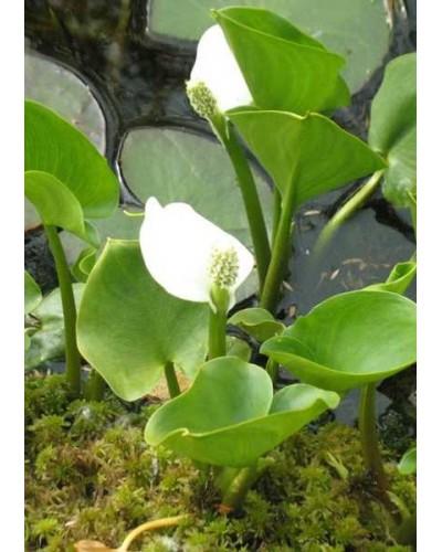 calla-palustris